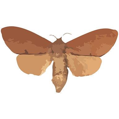 Dendrolimus punctatus