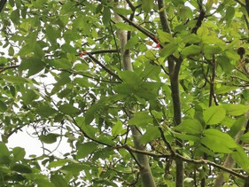 Pherobio brings mating disruption technology to walnut growers in Hotan