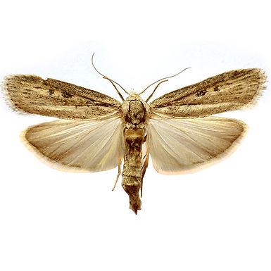 Homoeosoma nebulella