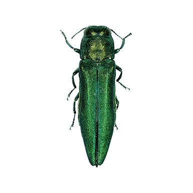 Agrilus planipennis