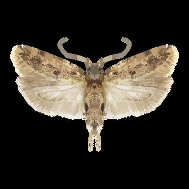 Pectinophora gossypiella