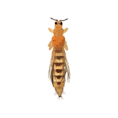 Thysanoptera spp