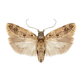 pectinophoragossypiella.png