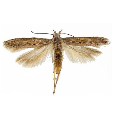 Phthorimaea operculella