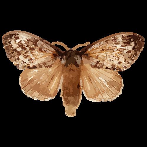 Dendrolimus spectabilis