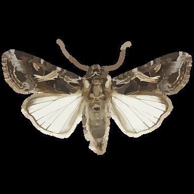 Spodoptera litura