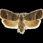 cydiapomonella.png