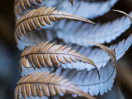 Photographing fern fronds