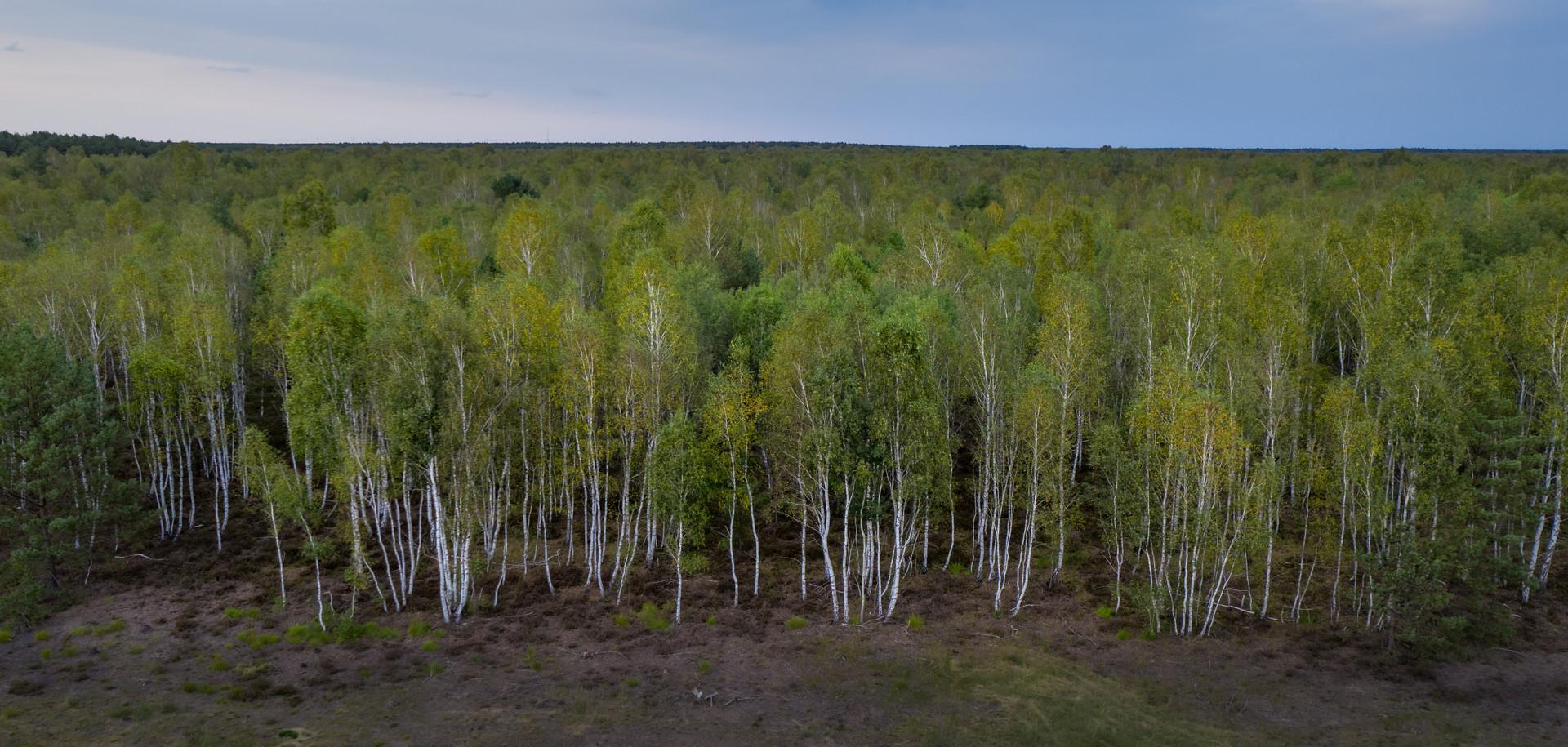 Luftbild Wald _ Birkenwald _ Birken