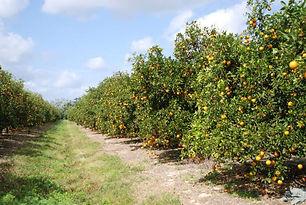 orange groves.jpg