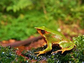 Darwin's frog 2 AVS.JPG