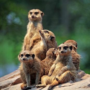 meerkat-658504_1920a.jpg