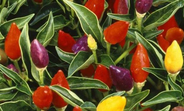ornamental-peppers-1200-810x325.jpg