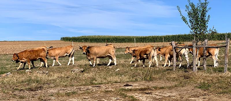 Vaches Le P'tit Farmer