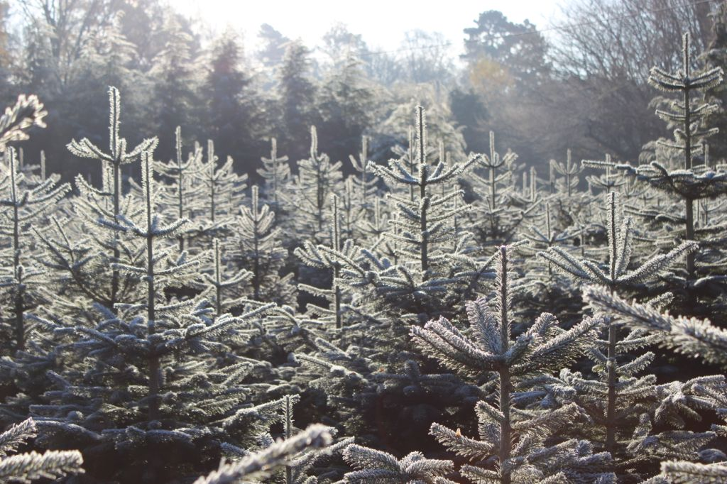 frosty trees 2