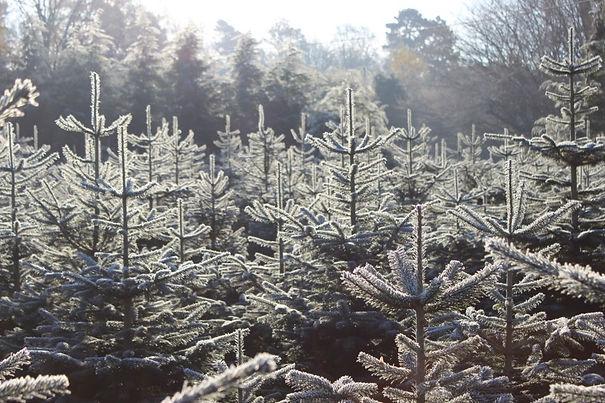 frosty trees 2.jpg