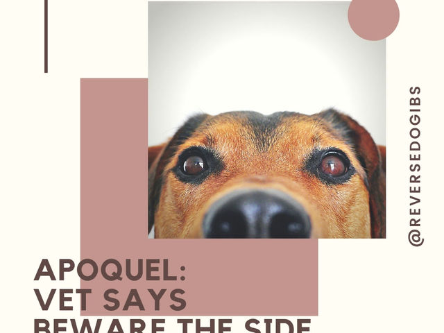 Apoquel: Vet Says Beware the Side Effects