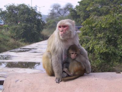 Affen am Roten Fort in Agra