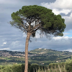 Pinie-beim-Weingut-Fiorentino.jpg