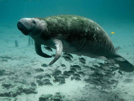 Día Internacional del Manatí, un llamado a la conservación de esta especie