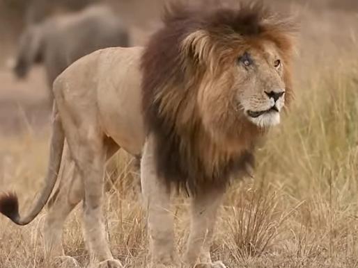 Murió el león más famoso del mundo, Scarface