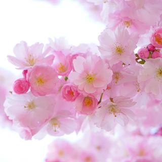 136-japanese-cherry-trees-324175.jpg
