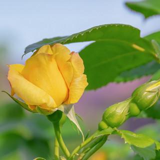 144-rose-4224815.jpg