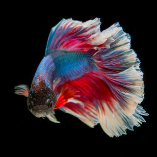 099-fighting-fish-2009968.jpg