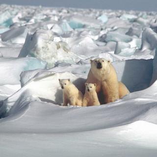 104-polar-bear-1509103.jpg
