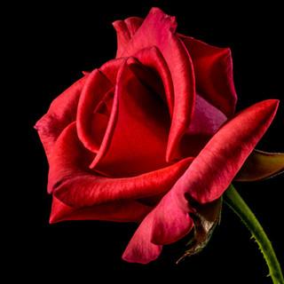 145-red-rose-320868.jpg