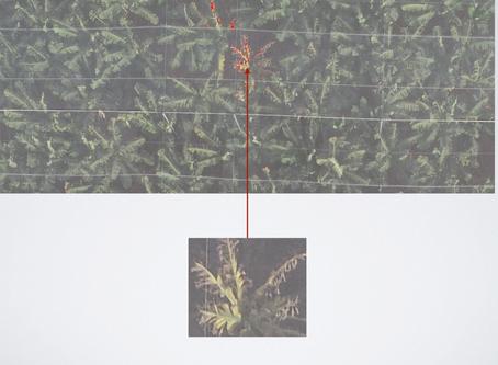 כך רחפנים מזהים מחלות בצמחים