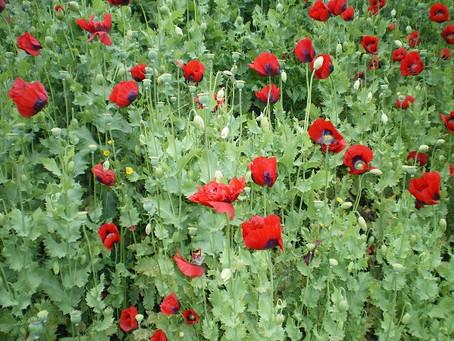 … poppies grow ...