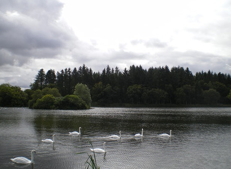 Holiday snaps (5): 7 swans a-swimming