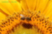 Carniolan Bee Slovenia.jpg