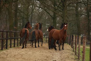 hengst paarden socialisatie paddock paradise paardvriendelijke huisvesting