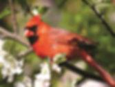 943 - Cardinal.jpg