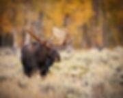 926 - Moose.jpg
