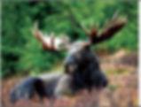 3D Flip Changing Moose 3D lenticular pos