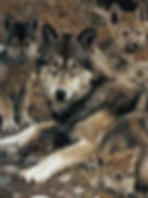 Wolf with Pups.jpg