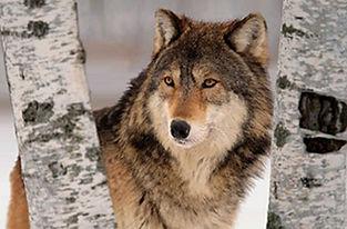 Wolf Between Birch Trees 3D Lenticular P