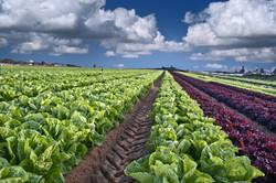 Row Crops Lettuce
