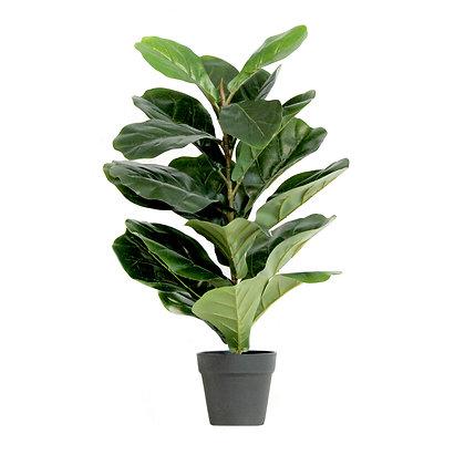 Fiddle Leaf Fig Tree 60cm