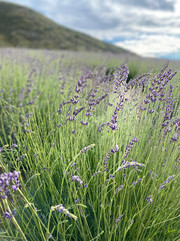 Lavender Field 1200.jpg