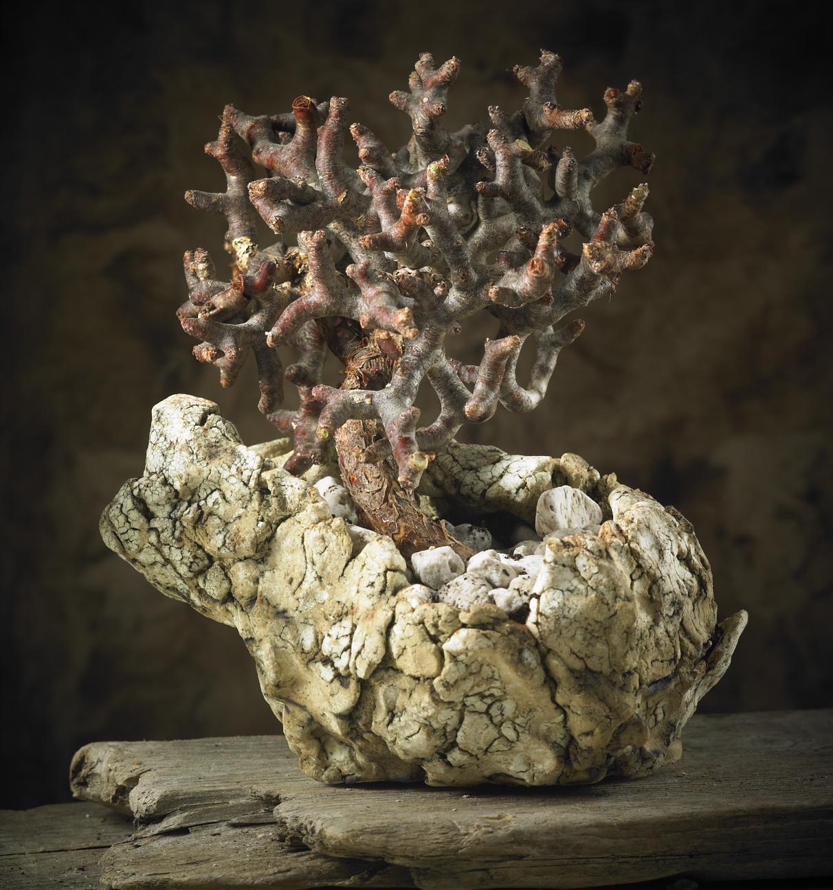 Pelargonium mirabilis 2