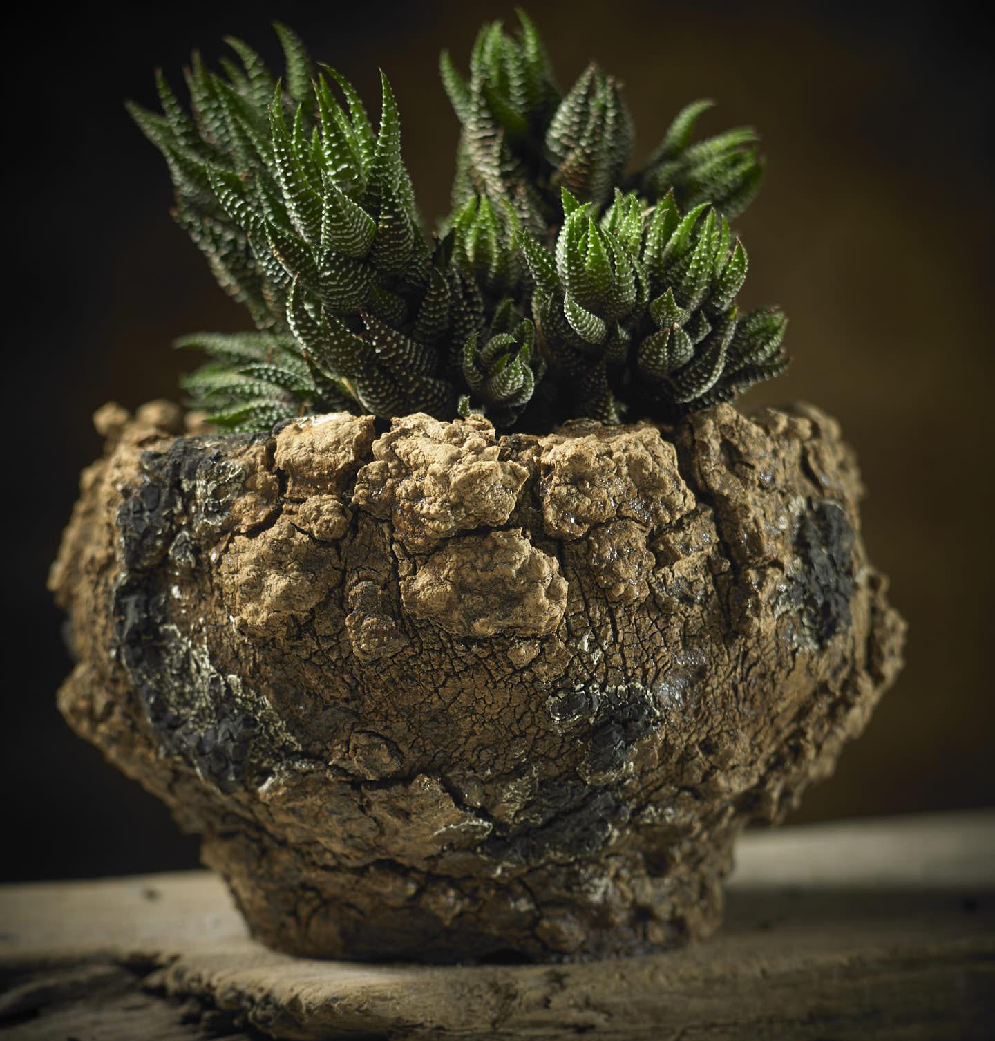 haworthia attenuata gloria folia in L602