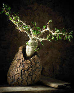pachypodium saundersii L76 Mother to Earth