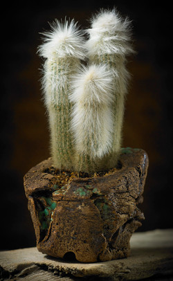Cleistocactus Straussi a