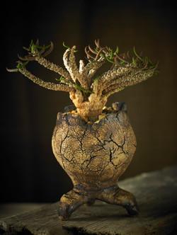 Euphorbia cylindrifolia .v.tubifera