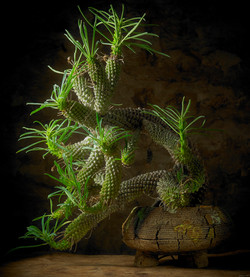 Euphorbia  Pubiglans in pot
