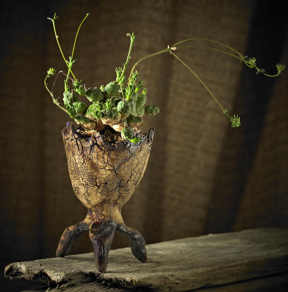 euphorbia globosa dragon cup